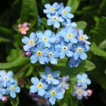 Forget me Not.  The Flower of Newfoundland soldiers.